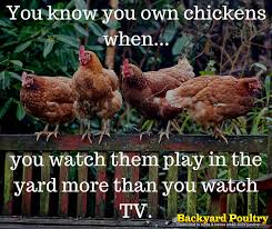 What To Feed Backyard Chickens by Backyard Poultry Funny Quote Just Chicken Business