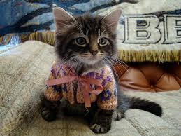 sweaters for cats cats in sweaters a gallery on flickr