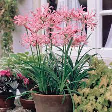 guernsey pink other flower bulbs meuwen nerine