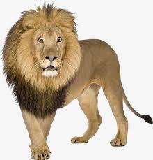 imagenes de animales carnivoros para imprimir león león carnívoros animal archivo png y psd para descargar gratis