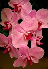 pink orchids pretty in pink pink orchids orchid and flowers