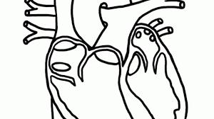 anatomical heart coloring human heart coloring free