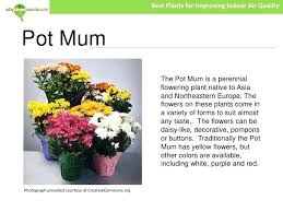 best plants for air quality pot mum indoor plant the best indoor plants for air purification