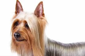 silky terrier hair cut silky terrier dog breed information american kennel club