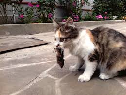 the hows and whys of a natural raw food diet for cats can i use feeder mice in place of a raw diet living with cats