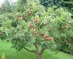 honeycrisp apple trees on sale the planting tree
