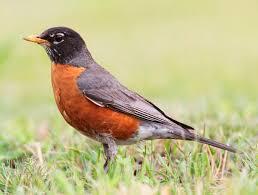 great backyard bird count next weekend wxpr