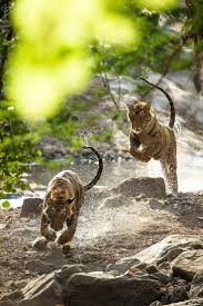 best 25 tigers ideas on pinterest big tiger tigers in the wild