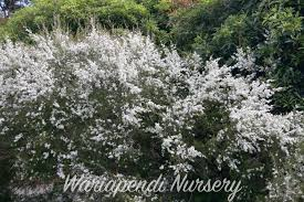 best australian native hedge plants carpet plants native plant and revegetation specialists