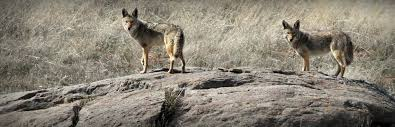 Can Coyotes See Red Light Colorado Coyote Hunting Kb Style Adventures