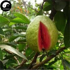 buy guava fruit tree seeds 60pcs plant fruit psidium guajava