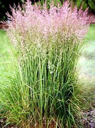 karl foerster feather reed grass live plant 4 5 inch pot