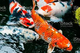 colorful carp swimming in traditional japanese koi pond kyoto