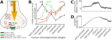 a developmental switch for hebbian plasticity