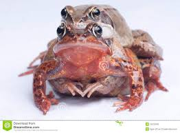 two frogs mating royalty free stock images image 19210939