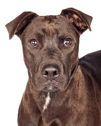 american pit bull terrier lab mix labrabull pitador dog breed everything about the pit bull lab mix