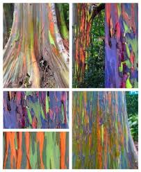 Rainbow Eucalyptus Hawaii U0027s Rainbow Eucalyptus Trees Hawaii Hideaways Travel Blog