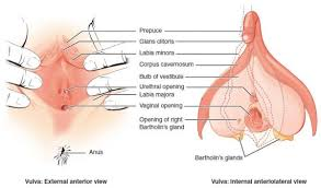 Female Sexual Anatomy Pictures Female Reproductive System Sexual Anatomy Onehowto