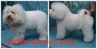 cost of a bichon frise bichon frise grooming needs bbird u0027s groomblog