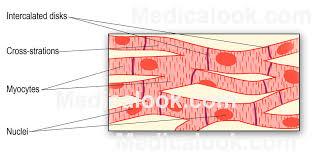 Diagram Heart Anatomy Cardiac Muscle Human Anatomy Organs