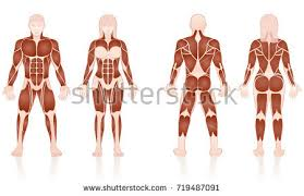 Female Muscles Anatomy Women Biceps Vectors Download Free Vector Art Stock Graphics