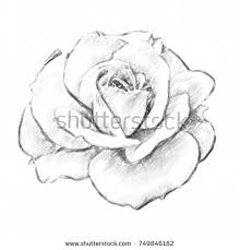 design flower rose drawing drawing rose colored pencils on white stock illustration 749846182