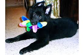 belgian sheepdog puppies for sale uk 2013 oconomowoc wi belgian sheepdog club of america