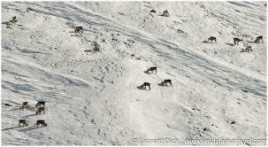 Caribou at atigun pass alaska365