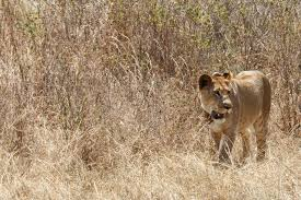 lions return to rwanda for first time since genocide u0027s aftermath