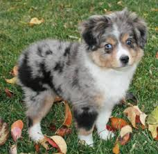 australian shepherd miniature harlequin u0026 tweed blue u0026 red merle toy australian shepherds for