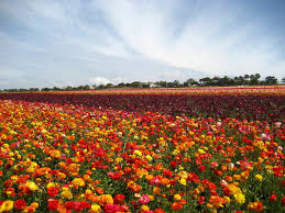 Map Of Carlsbad Ca Ranunculus Fields In Carlsbad Ca More Than 50 Acres Of A U2026 Flickr