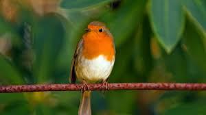 2 hours relaxing robin bird calls chirping sounds reduce stress