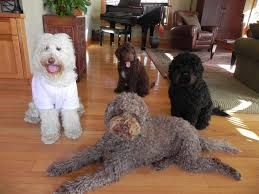doodle doo labradoodles 143 best labradoodle haircut images on hairstyles