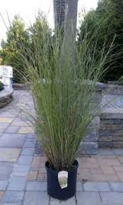 medford nursery ornamental grass