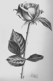 pictures pencil rose flower sketch drawing art gallery