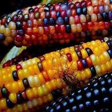 1239 best indian corn images on fruit pink popcorn