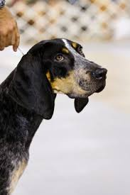 videos of bluetick coonhounds dogs 101 bluetick coonhound video animal planet bluetick