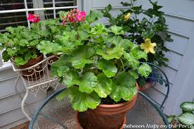 The Geranium On The Windowsill Just Died Kimberly Queen The Shed Free Fern