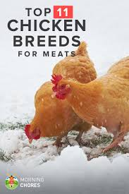 chicken types for meat with 15 popular breeds of chickens for