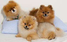 pomeranian dog wallpapers 46 pomeranian dog high resolution