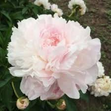 Bulk Peonies The 25 Best Peonies For Sale Ideas On Pinterest Peony Peony