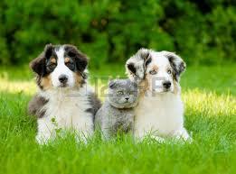 australian shepherd yoga video australian shepherd dogs stock photos royalty free australian