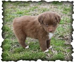 6 week old mini australian shepherd past puppies j u0026 j mini aussies