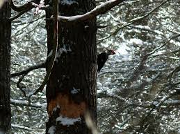 pileated woodpecker our fine feathered friends