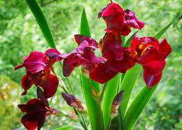 iris flowers iris flowers bearded beardless and crested