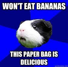 Guinea Pig Meme - guinea pig memes guinea pig hub