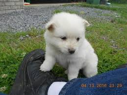 american eskimo dog japanese spitz difference view ad american eskimo dog toy puppy for sale alabama arab usa