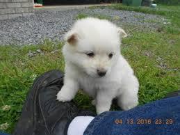 american eskimo dog michigan view ad american eskimo dog toy puppy for sale alabama arab usa