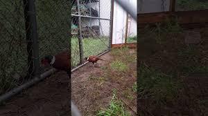 pheasants chiln u0027 in the rain youtube