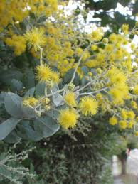 queensland native plants queensland silver wattle weeds of the blue mountains